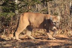 Puma som förföljer whitetailbocken Arkivbild