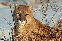 Puma som kopplar av i vintersolen Arkivfoton