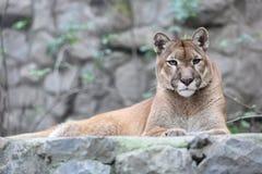 Puma som lägger på stenig sockel i zoo royaltyfri foto
