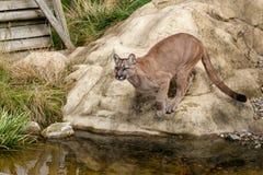 Puma som omkring huka sig ned för att hoppa av Rock Royaltyfri Bild