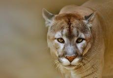 Puma som ser kameran Arkivfoto