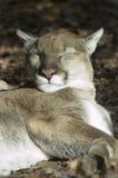 Puma som tar en ta sig en tupplur i sunen Arkivfoton