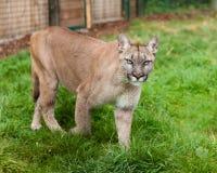 Puma Stalking Through Enclosure. Felis Concolor royalty free stock photography