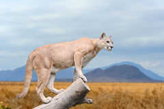Puma stands on a tree royalty free stock photos