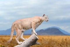 Puma stojaki na drzewie Zdjęcia Royalty Free