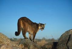 Puma sur la roche Photographie stock