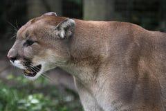 Puma sur le vagabondage Images stock