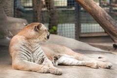 Puma in uno zoo Immagini Stock Libere da Diritti