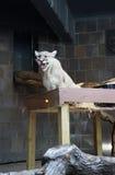 Puma vocal imagem de stock