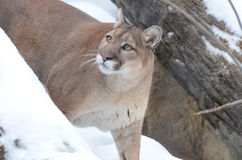 Puma w śniegu Fotografia Stock