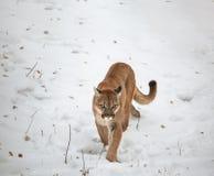 Puma w drewnach Obrazy Royalty Free
