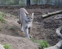Puma w niewoli - stojący w klauzurze fotografia stock