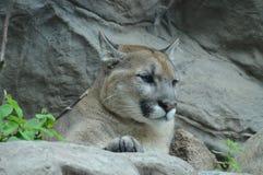 Puma w outdoors Zdjęcie Stock