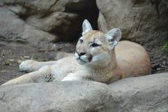 Puma w outdoors Obrazy Stock