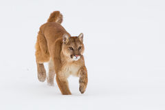 Puma walking in snow Stock Images