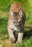 Puma walking to the camera Stock Photography