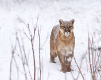 Puma in the woods, Mountain Lion look, single cat on snow Royalty Free Stock Photo
