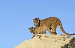 Puma y kit Foto de archivo libre de regalías