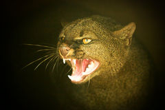 Puma Yagouaroundi Head Shot Stock Image
