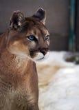 Puma z jaskrawymi niebieskimi oczami przy śniegiem Zdjęcia Royalty Free