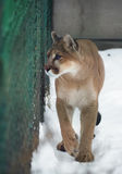 Puma z niebieskimi oczami przy śniegiem Obrazy Stock