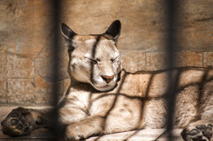 Puma in zoo cage Royalty Free Stock Photo
