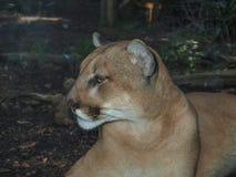 Pumakuguar Concolor, puma royaltyfri bild