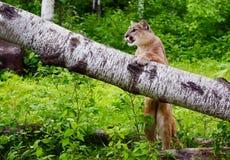 Puman står på en stupad journal Arkivbild