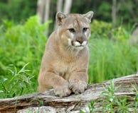 Puman stirrar på uppmärksamhet Arkivfoton