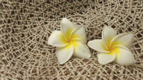 Plumaria on net background Royalty Free Stock Images