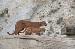 Pumas Image libre de droits