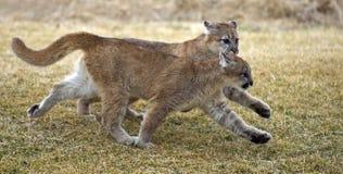 Pumas (concolor de felis) l'en tandem image stock