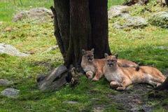 Pumas elegantes que se sientan de lado a lado en hábitat de la naturaleza fotografía de archivo libre de regalías