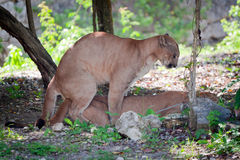 Pumas at sex Royalty Free Stock Photos
