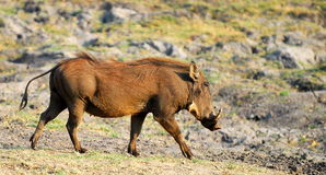 Pumba. Portrait of a wart hog walking in the african savvana Royalty Free Stock Photo