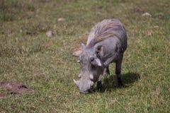 Pumba grazing. In the Ngorongoro crater in Tanzania Stock Photos