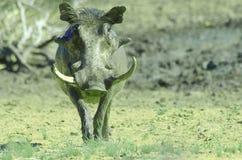 Pumba het wrattenzwijn Royalty-vrije Stock Afbeelding