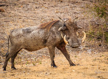 Pumba. A pumba poses in Kruger national Park, South Africa Royalty Free Stock Image