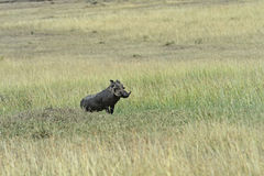Pumbaa Stock Image