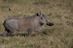 Pumbaa (Warthog) Running. Warthogs on the run have their tails up in the air like an antenna, perhaps as an alert to others royalty free stock photos