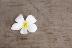 Pumeria branco no fundo de madeira Imagens de Stock Royalty Free