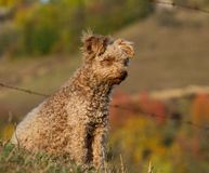 Pumi dog Royalty Free Stock Photography