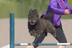 Pumi jumps over an agility hurdle Royalty Free Stock Photography