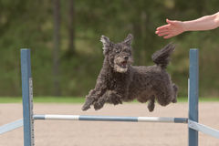 Pumi jumps over an agility hurdle Stock Photography