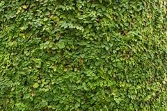 Pumila фикуса, смоква проползать, заводы как чудесная предпосылка природы Стоковое Изображение RF