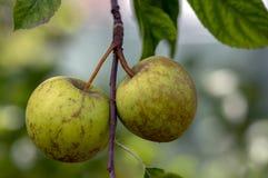 Pumila com grupo de frutos de amadurecimento, dourado verde do Malus dos ramos de árvore de Apple - maçãs deliciosas fotografia de stock