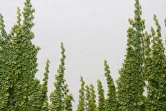 Pumila de escalada do Ficus na parede imagem de stock royalty free
