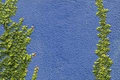 Pumila de escalada do Ficus na parede fotos de stock