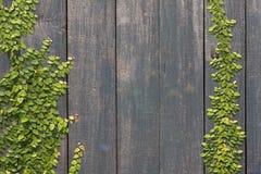 Pumila de escalada do Ficus na parede de madeira Imagens de Stock
