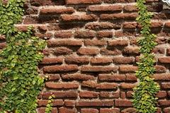 Pumila de escalada do Ficus na parede velha Foto de Stock